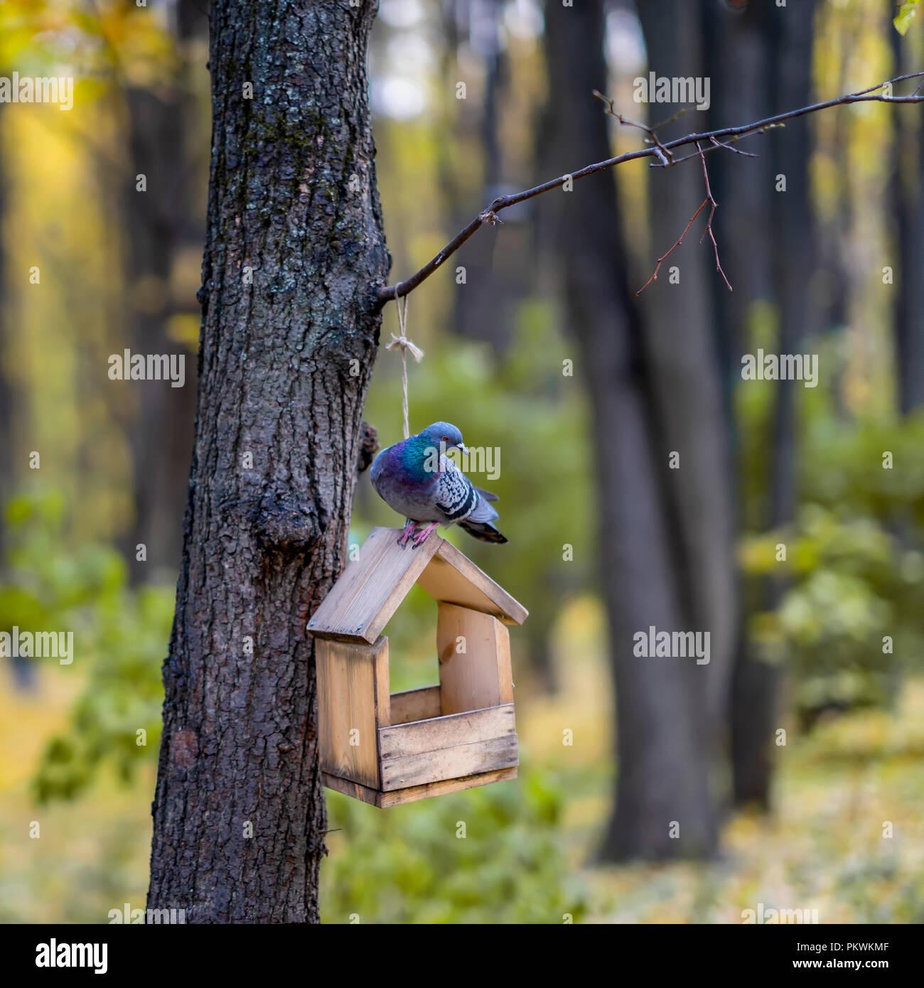 Curieux pigeon sauvage assis sur une mangeoire en bois dans la forêt d'automne Photo Stock