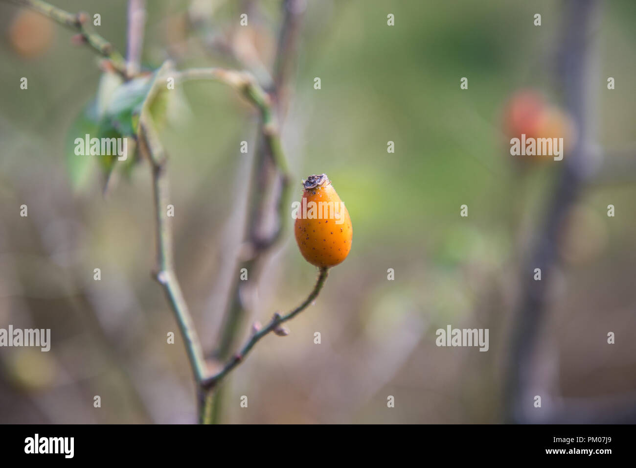Plantes Rose Musquee Banque D Images Photo Stock 218823537 Alamy