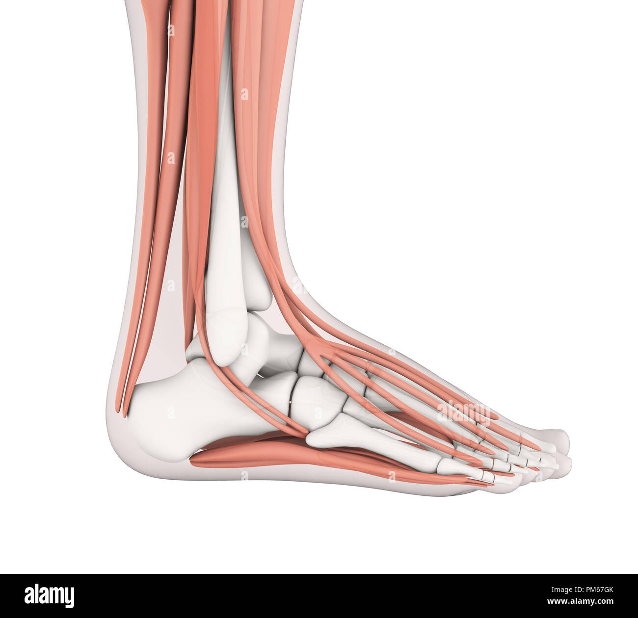 Anatomie des muscles du pied humain Photo Stock