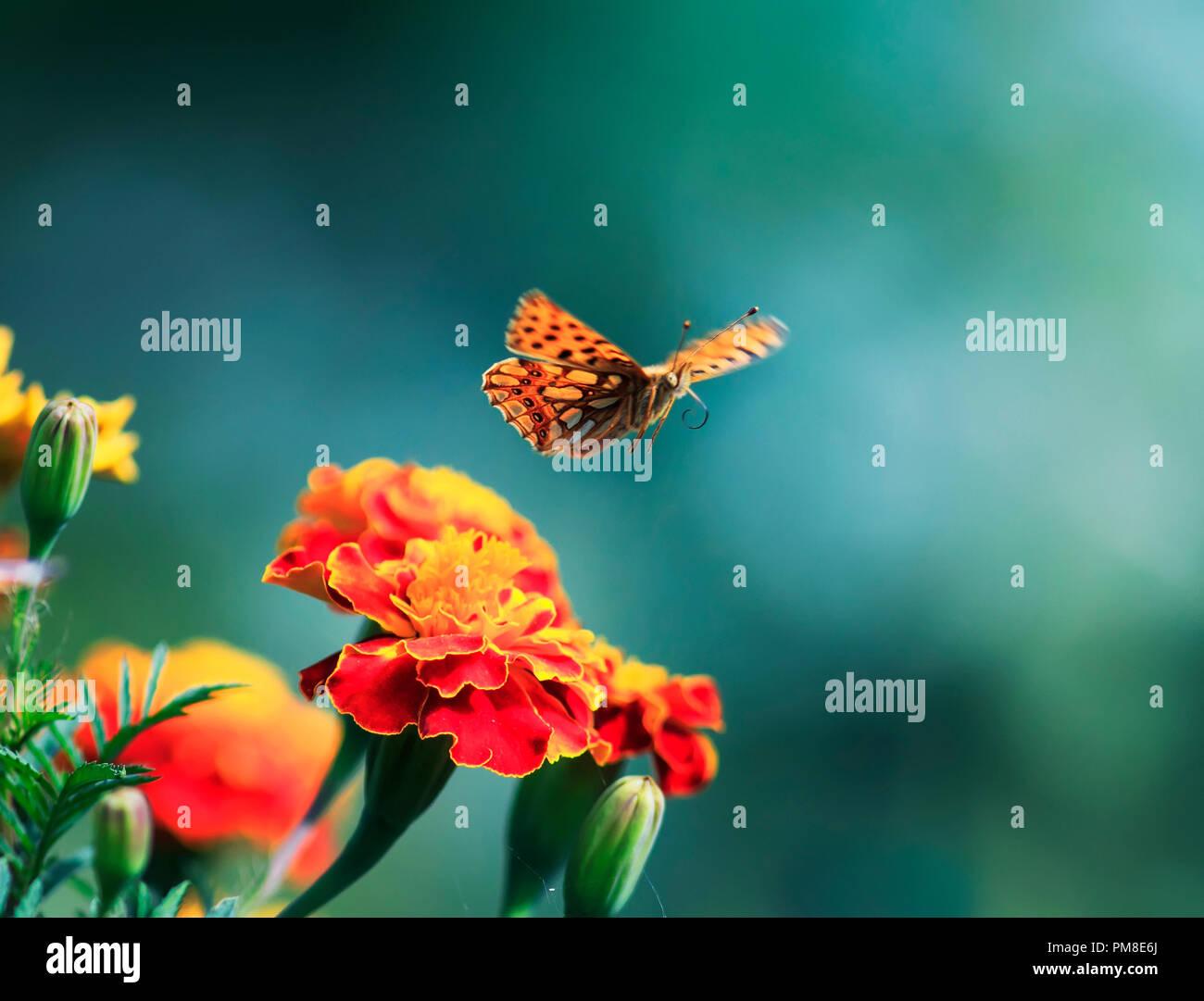Belle orange nacré papillon léopard s\'agite dans le jardin d ...