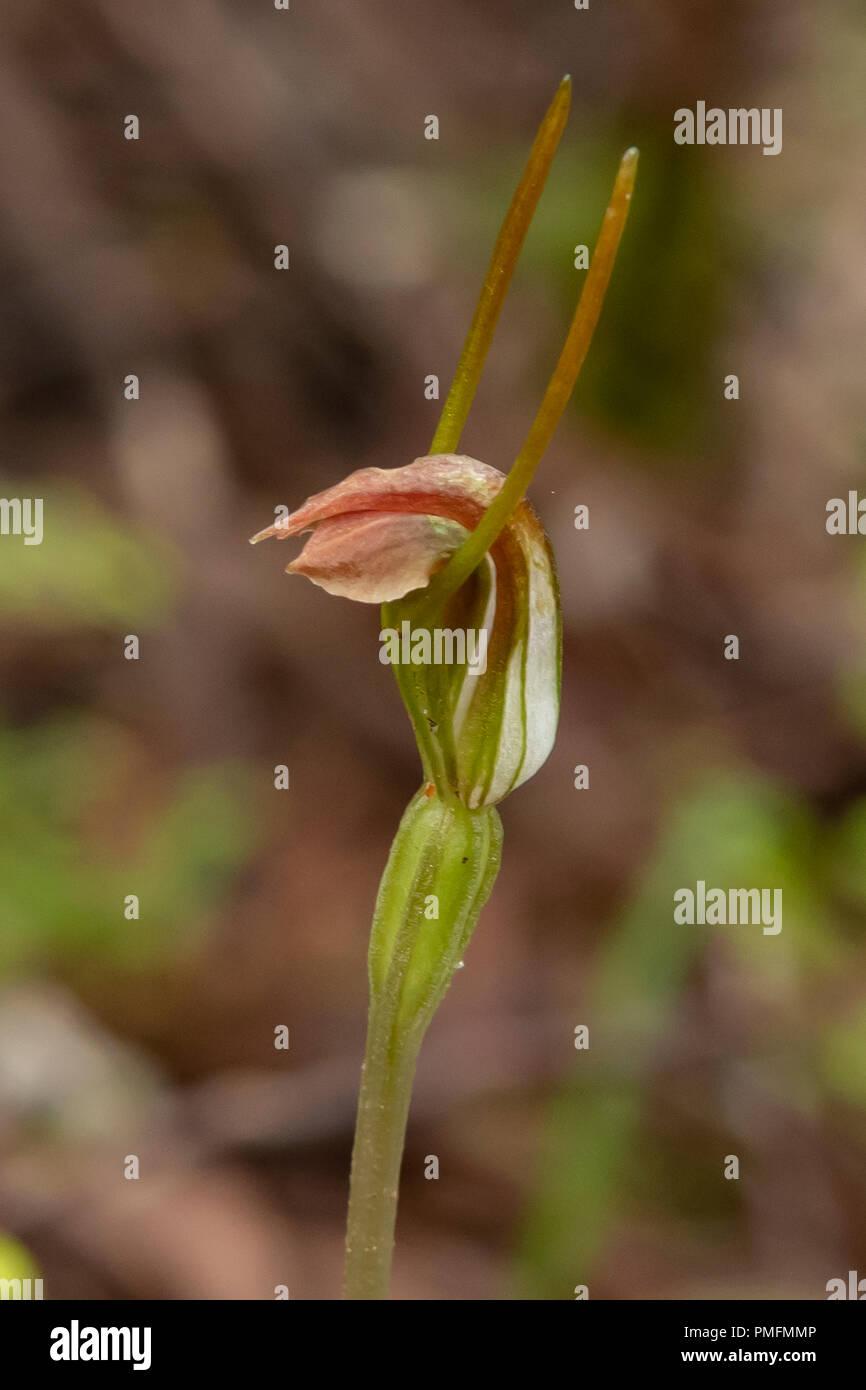 Pterostylis dilatata, orchidée escargot robuste Photo Stock