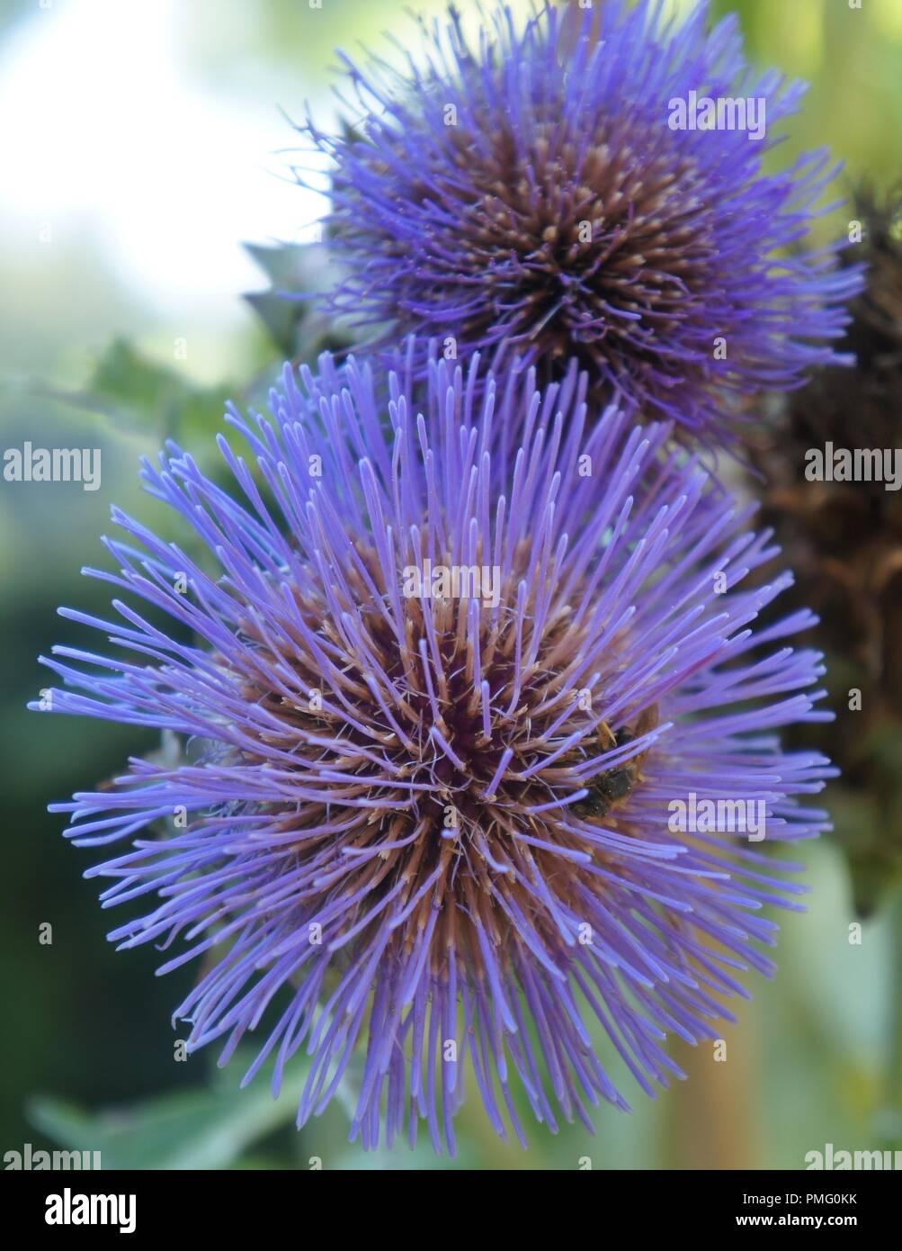 Fleur de cardon bleue, plante potagère famille des cardons et artichauts Cynara cardunculus cardon bleu, fleur, plante de la famille des légumes cardons Photo Stock