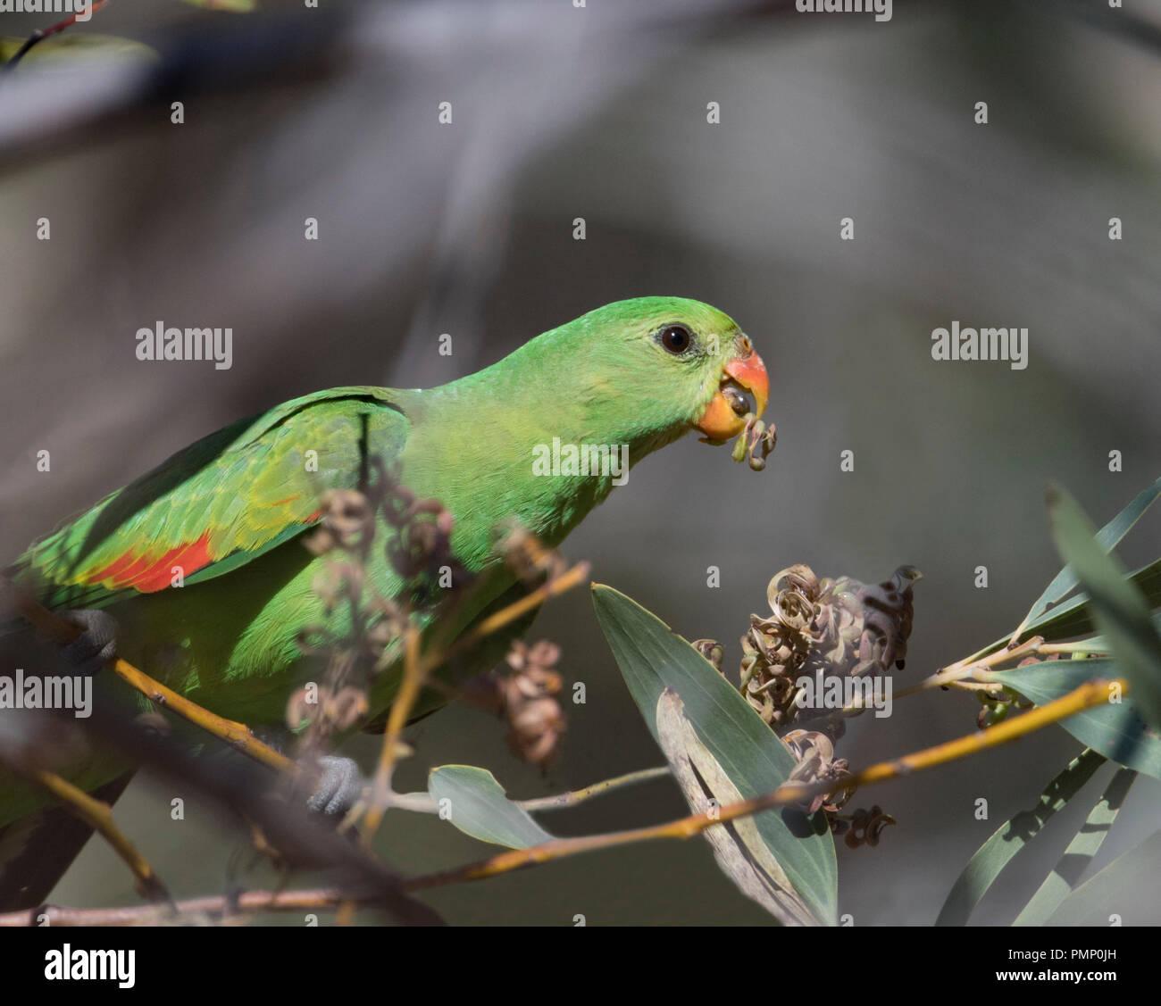 Red-winged Parrot ou Crimson-winged Parrot (Aprosmictus erythropterus) se nourrissant d'un buisson avec des graines dans son bec, Emu Creek, près de Petford, North Queens Banque D'Images
