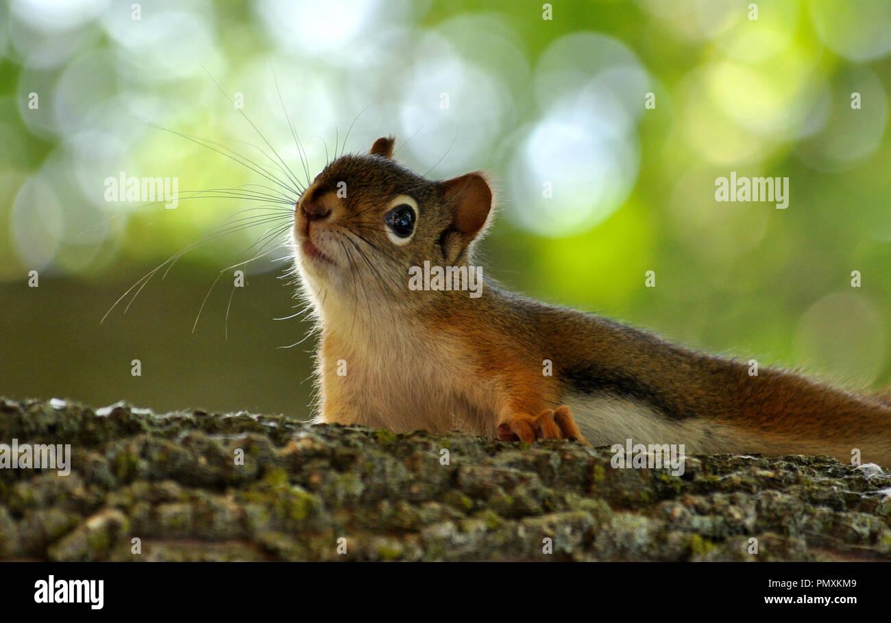 La photographie petit écureuil Photo Stock