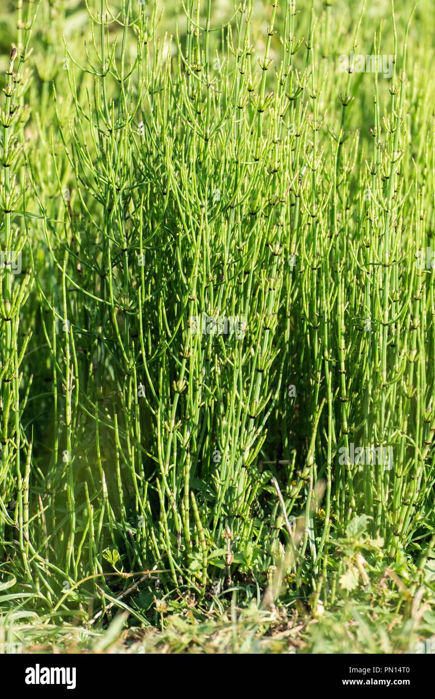L'herbe de la prêle des champs (Equisetum arvense) Banque D'Images