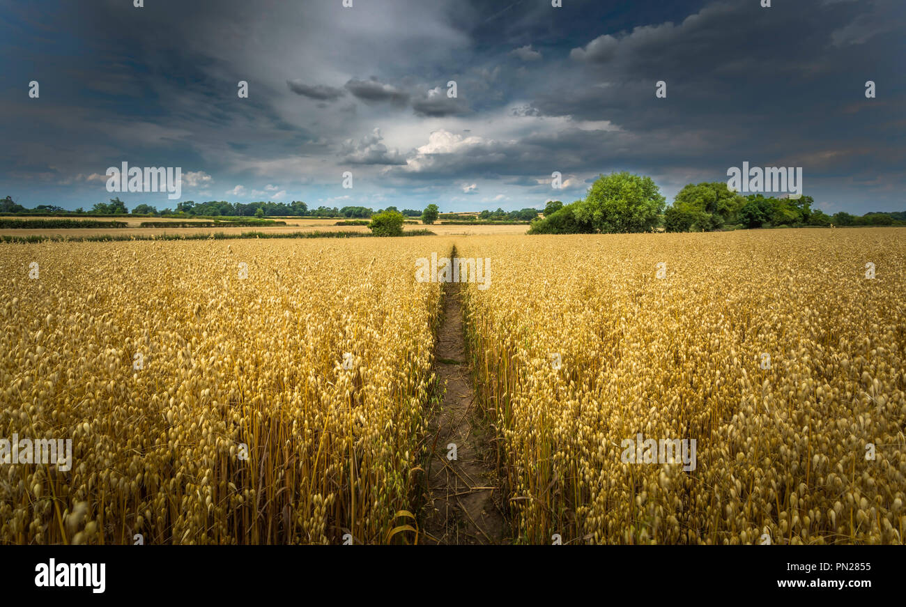 Sentier à travers un champ d'avoine sous un ciel menaçant. Photo Stock