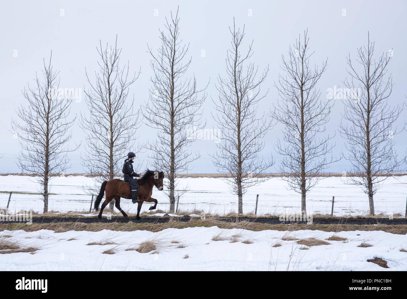 Femme équitation poney islandais faisant la démarche traditionnelle tolt - tolting - à Hella dans le sud de l'Islande Photo Stock