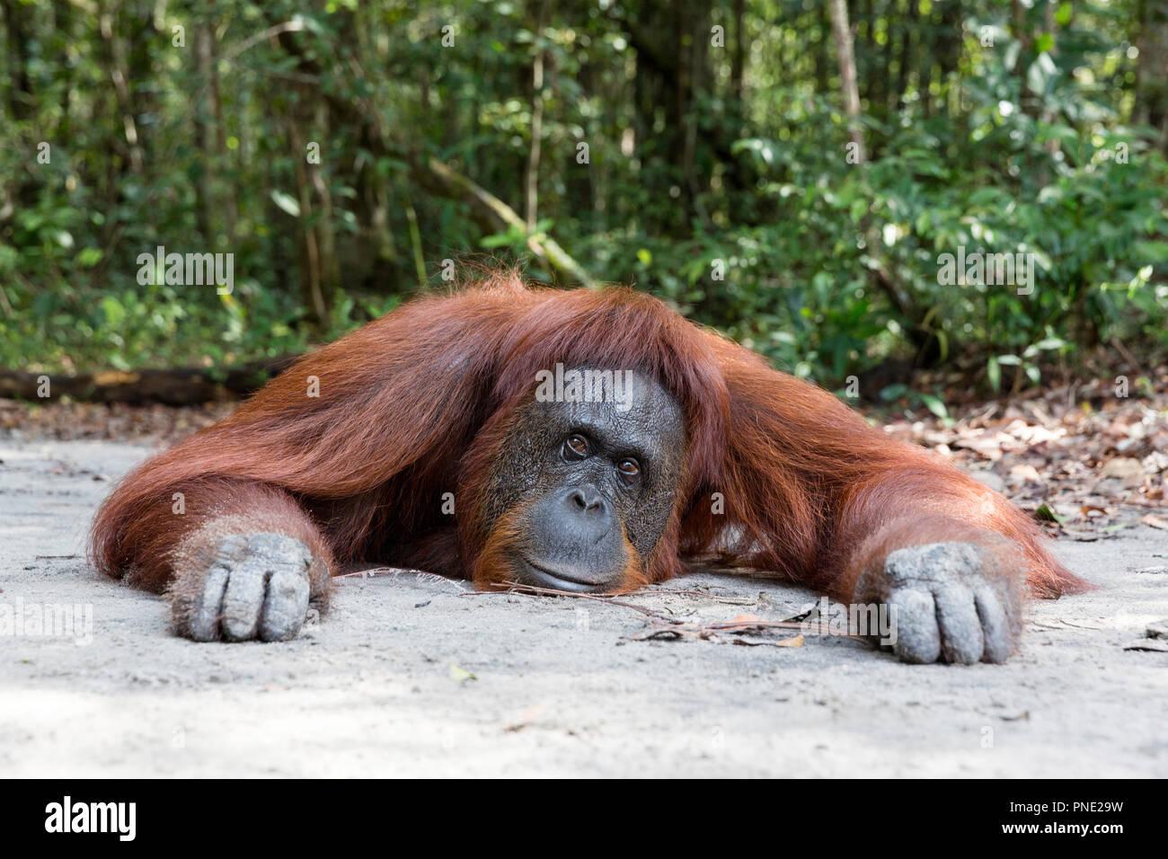 Femelle orang-outan, Pongo pygmaeus, au Camp Leakey, Bornéo, Indonésie. Photo Stock