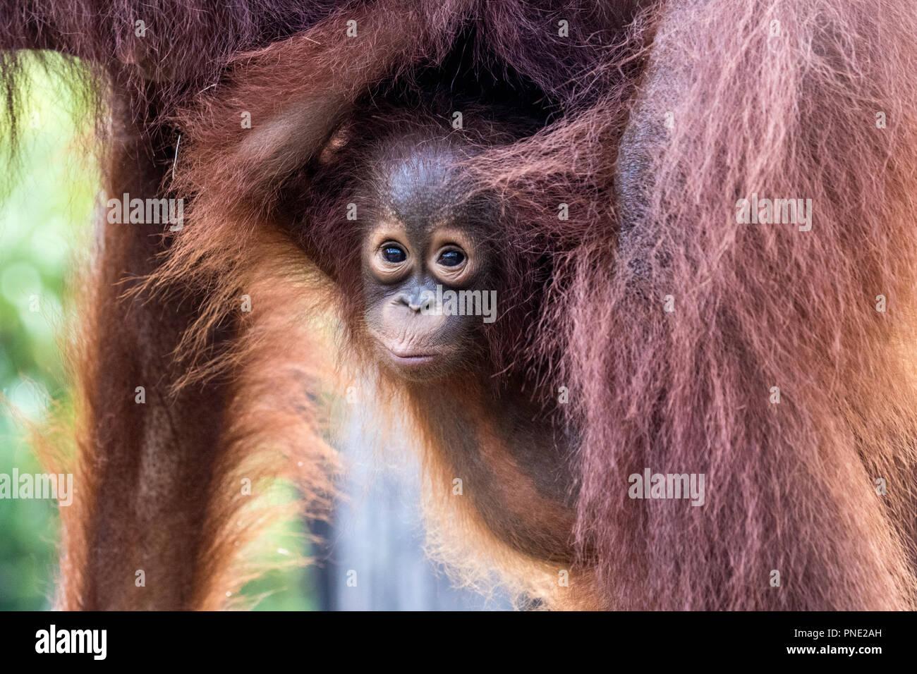 La mère et le bébé Orang orang-outan, Pongo pygmaeus, Buluh Kecil River, Bornéo, Indonésie. Banque D'Images
