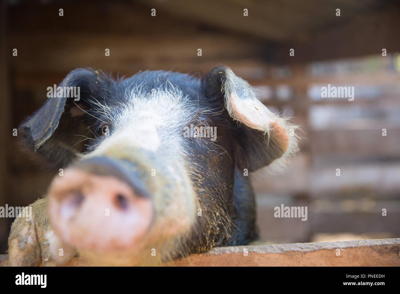 Cochon dans le stylo. L'accent est sur l'œil. Profondeur de champ. Photo Stock