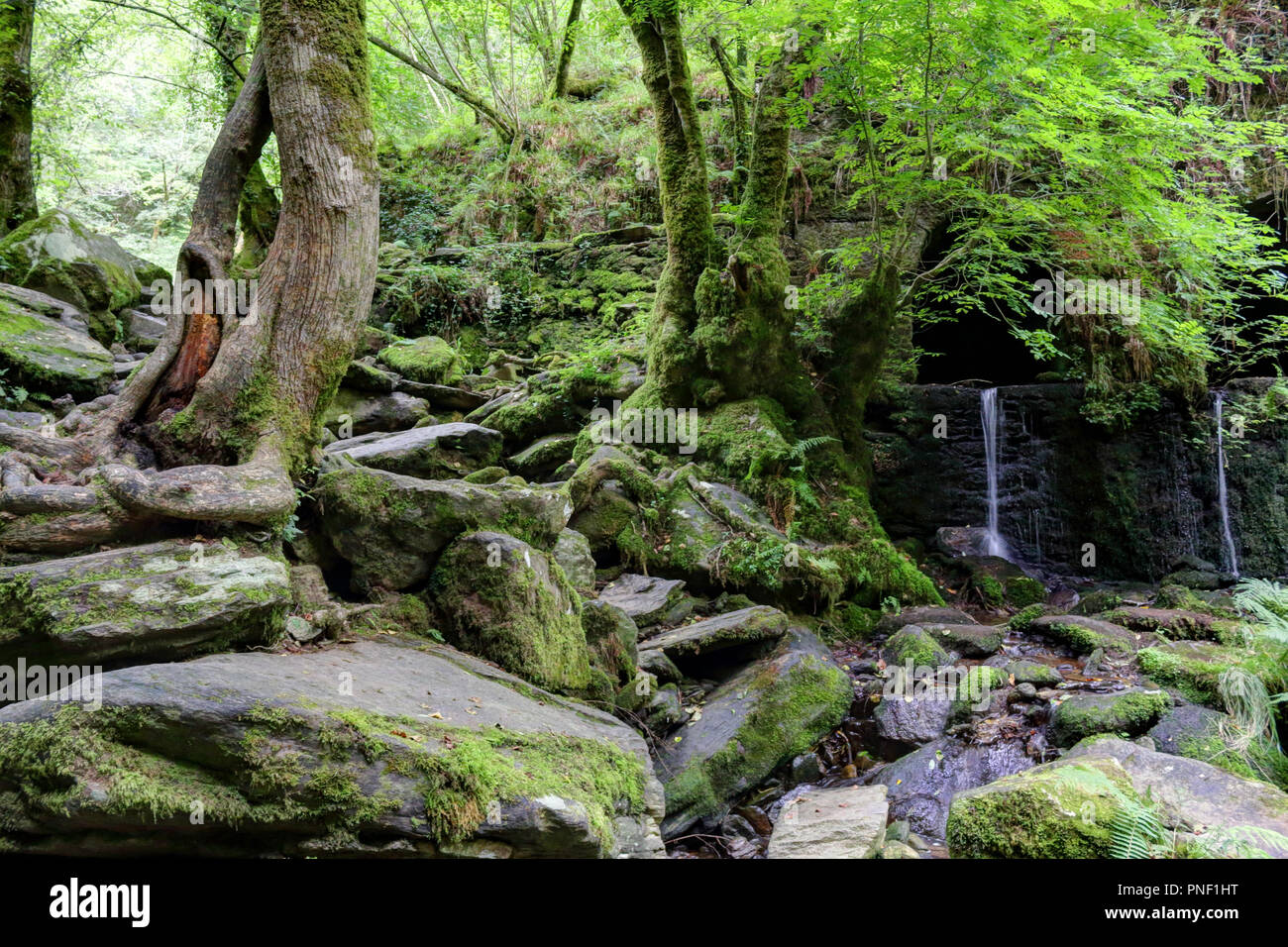 Il s'agit d'une mousse en cascade rocheuse couverte d'épaisseur Fragas do Eume luxuriante del forêt, avec les arbres avec des racines dans la pierre à côté de la rivière do Eume, Espagne Photo Stock