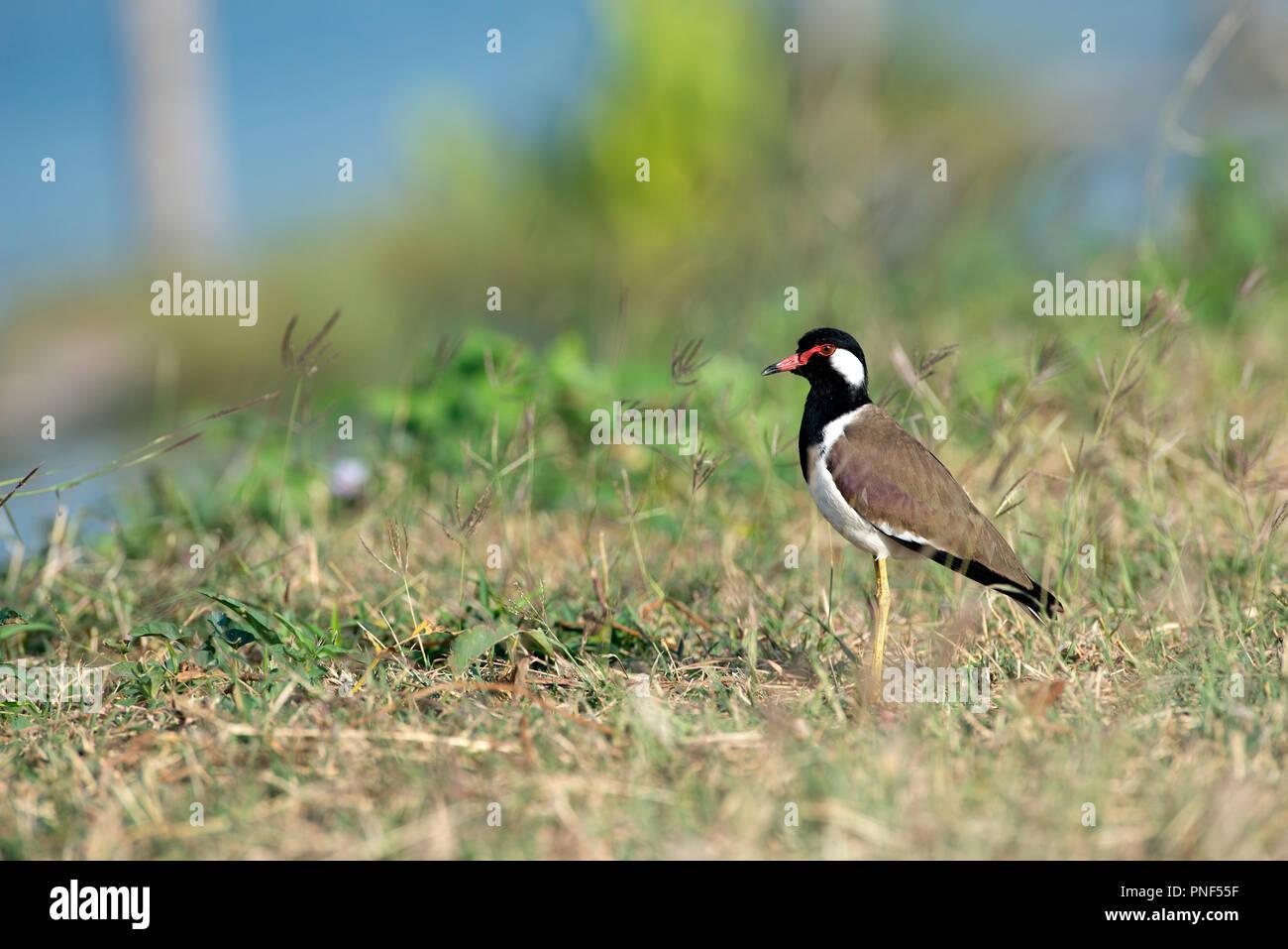 Red-réorganisation sociable (Vanellus indicus), Thaïlande Vanneau indien Photo Stock