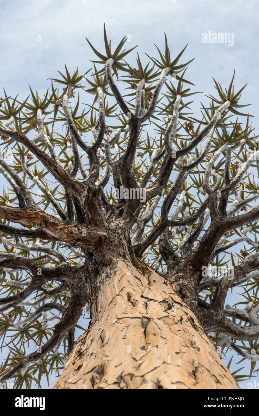 Quiver Tree ou Kokerboom (Aloe dichotoma) est une espèce d'aloe. La Namibie. Photo Stock