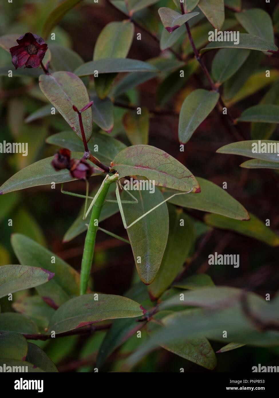 Phasme bâton mangeant une feuille d'arbuste. Banque D'Images
