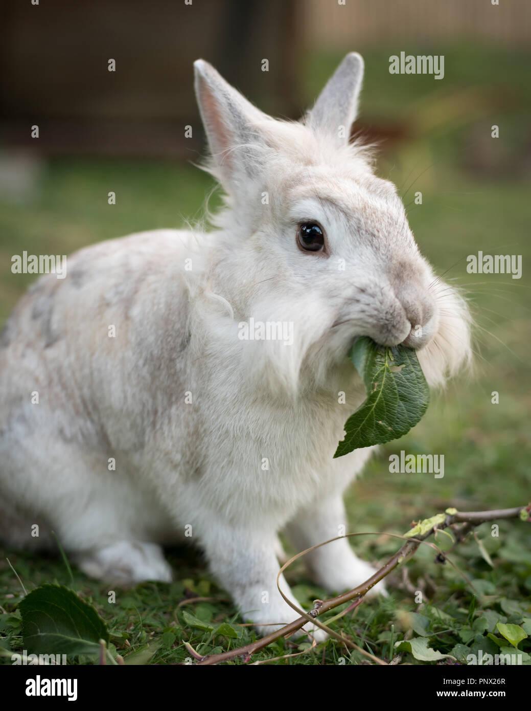 Un lapin nain blanc (lions head) manger une feuille Banque D'Images