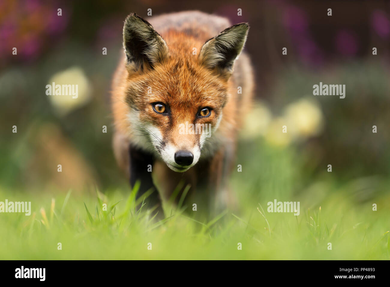 Close up of a red fox, au Royaume-Uni. Photo Stock