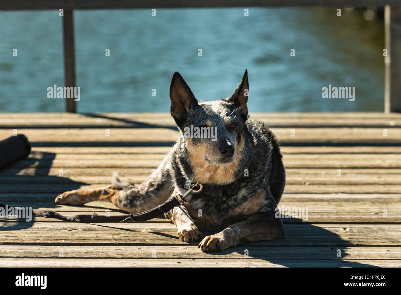 Lazy Dog la sieste au soleil sur un chien de pêche sur un lac des Prairies Photo Stock