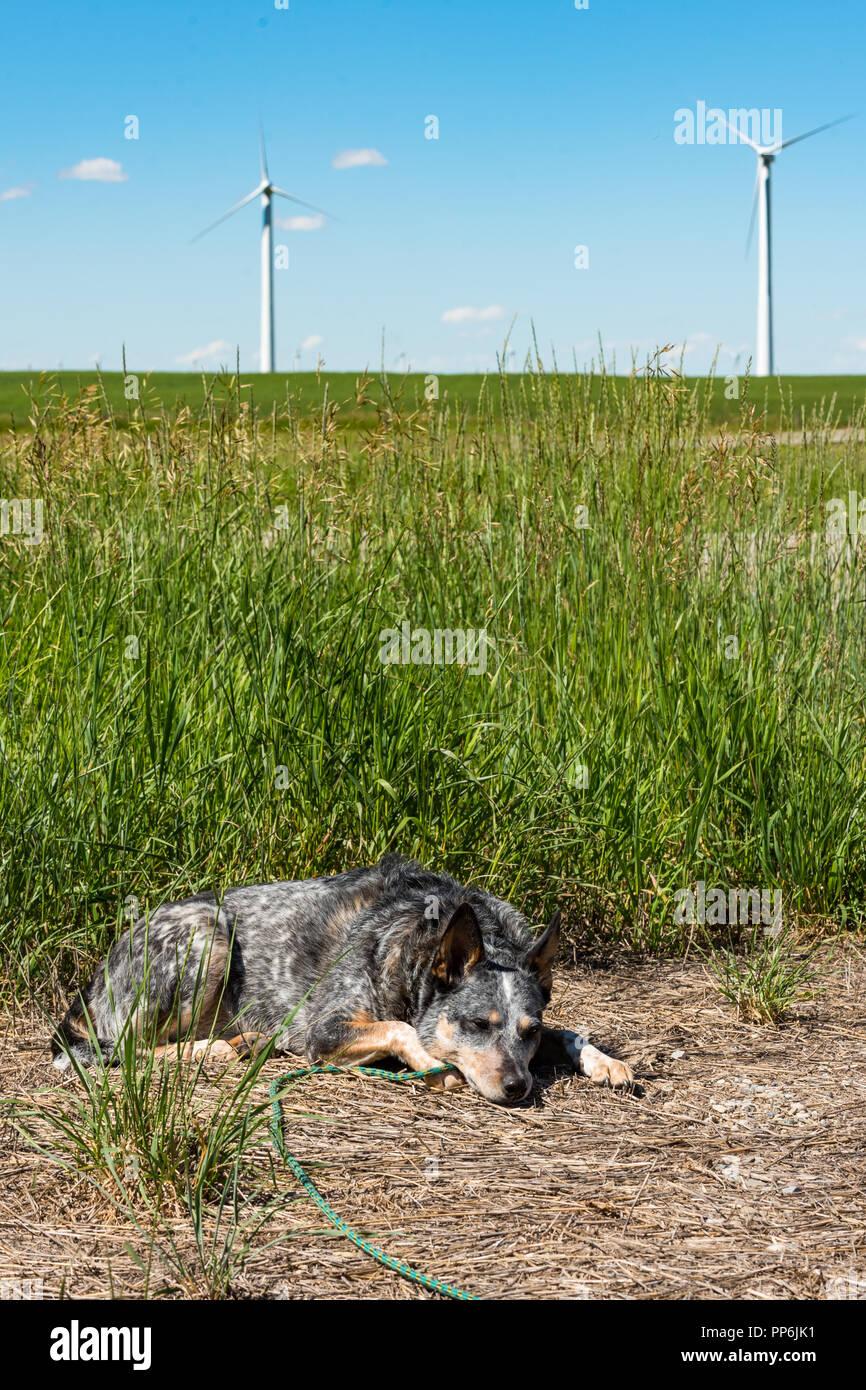 Chien de ferme paresseux la sieste au soleil sur une chaude journée d'été avec des moulins à vent à l'arrière-plan Photo Stock