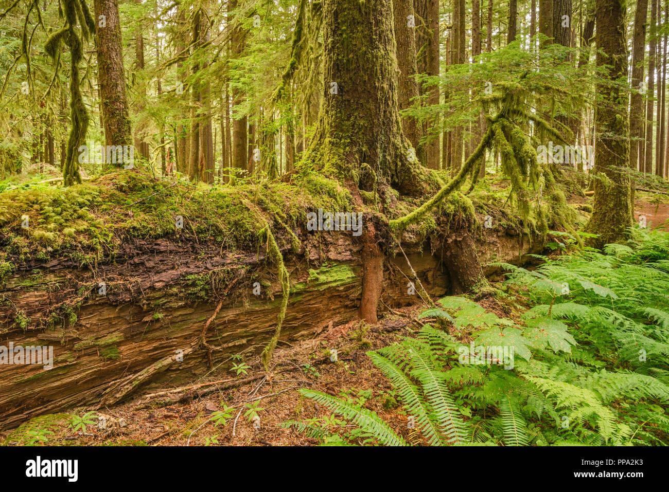 Les nouveaux semis croissant sur journal d'une infirmière, d'Anciennes oliveraies Sentier, Sol Duc River area, Olympic National Park, Washington State, USA Photo Stock