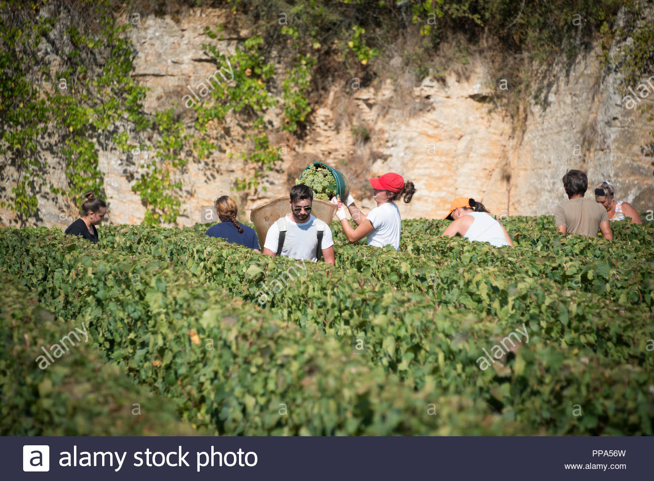 Vendanges en Bourgogne, les cueilleurs picking grapes dans un vignoble clos Photo Stock