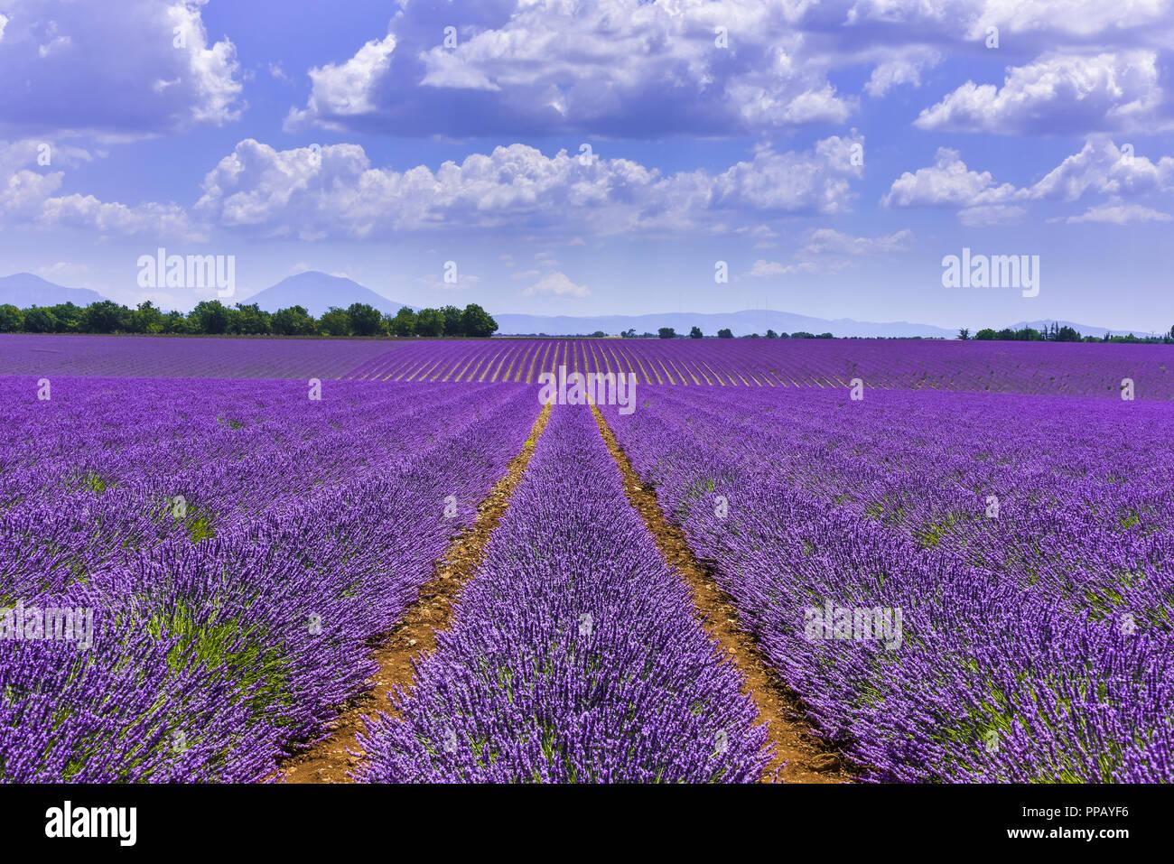 Champs de lavande d'atteindre à l'horizon près de Valensole, Provence, France, département Bouches-du-Rhône, région Provence-Alpes-Côte d'Azur Photo Stock