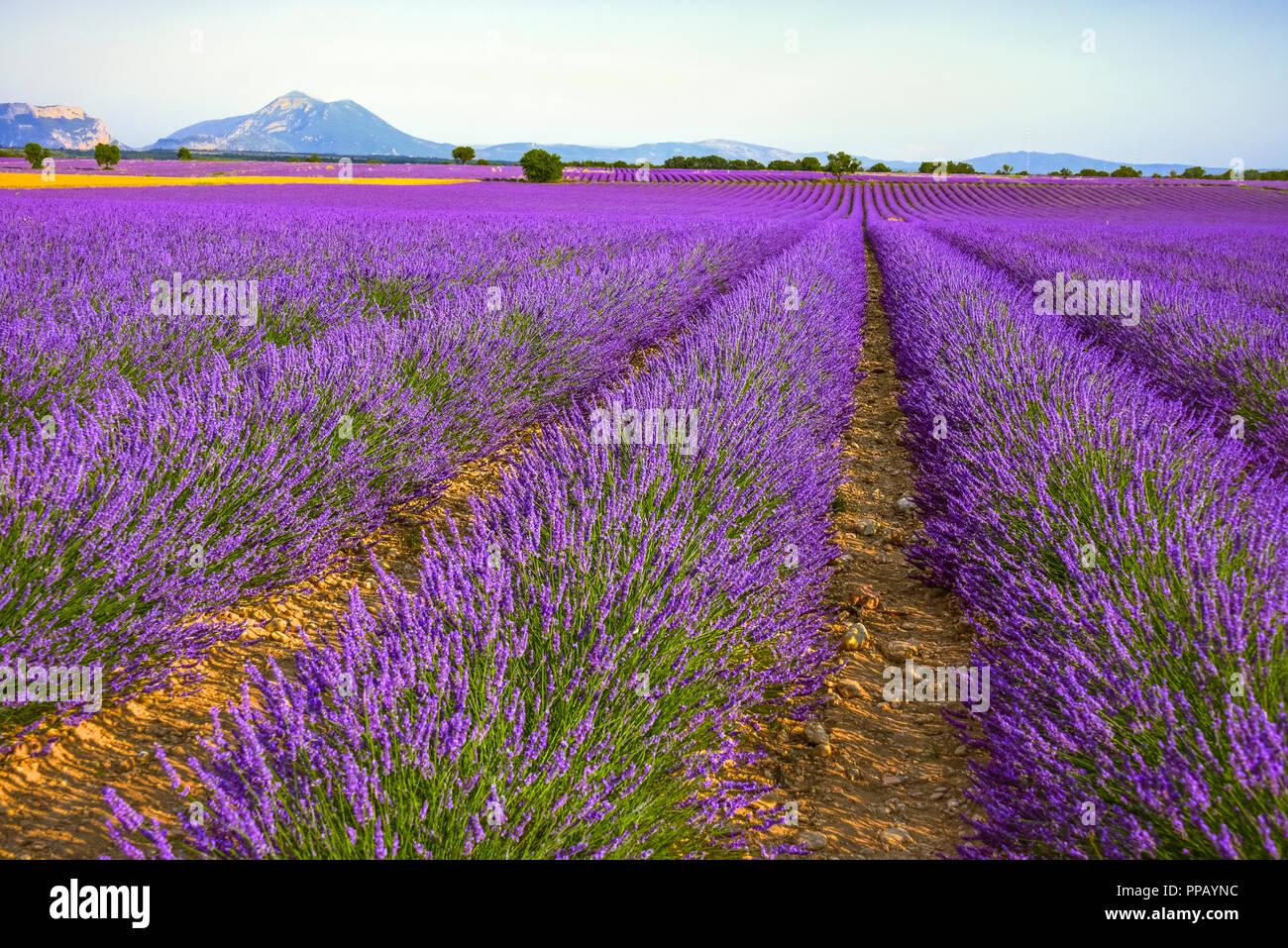 D'immenses champs de lavande à l'horizon dans la région autour de Valensole, Provence, France Photo Stock