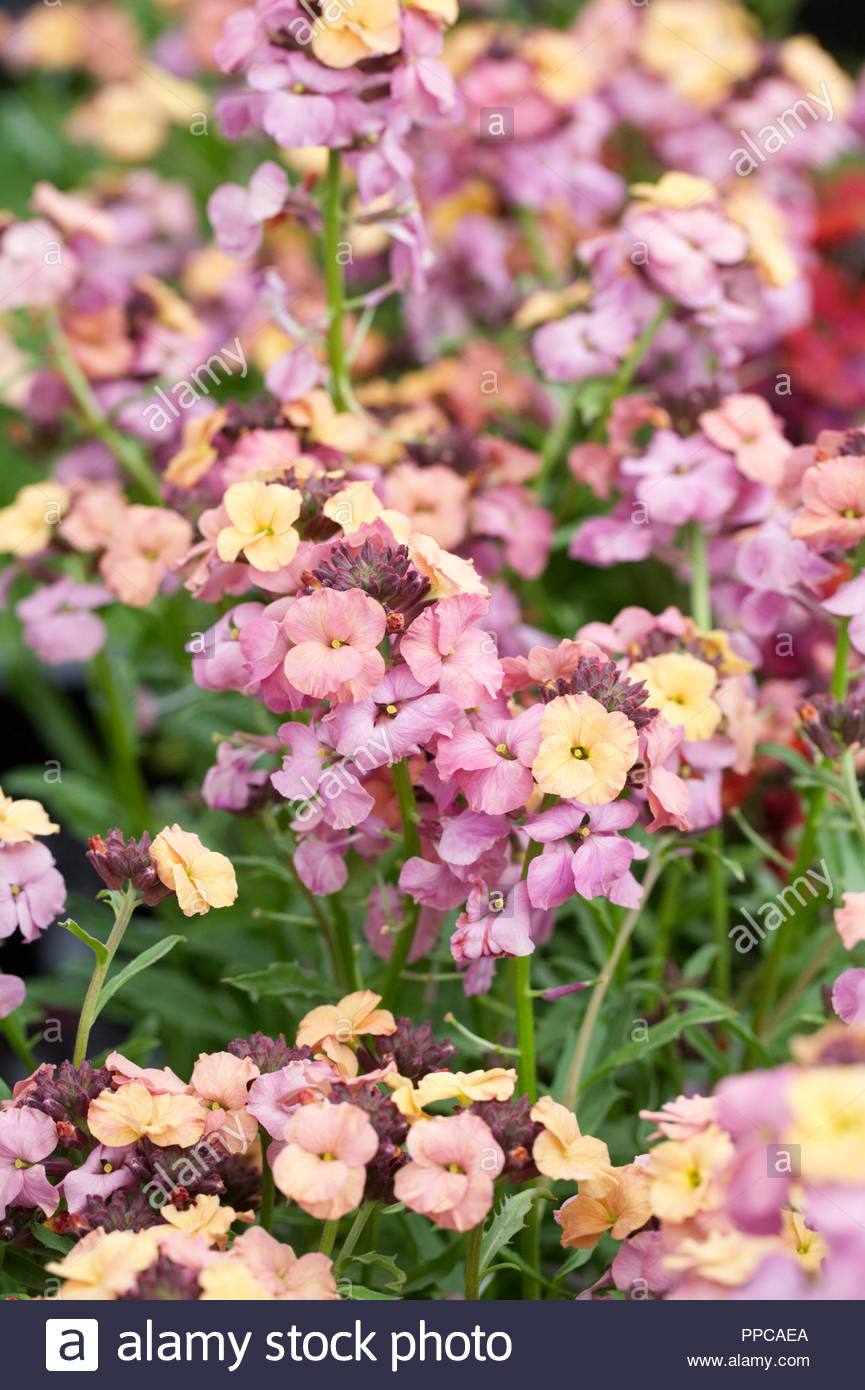 L'Erysimum 'patchwork' Pastel de fleurs. Photo Stock