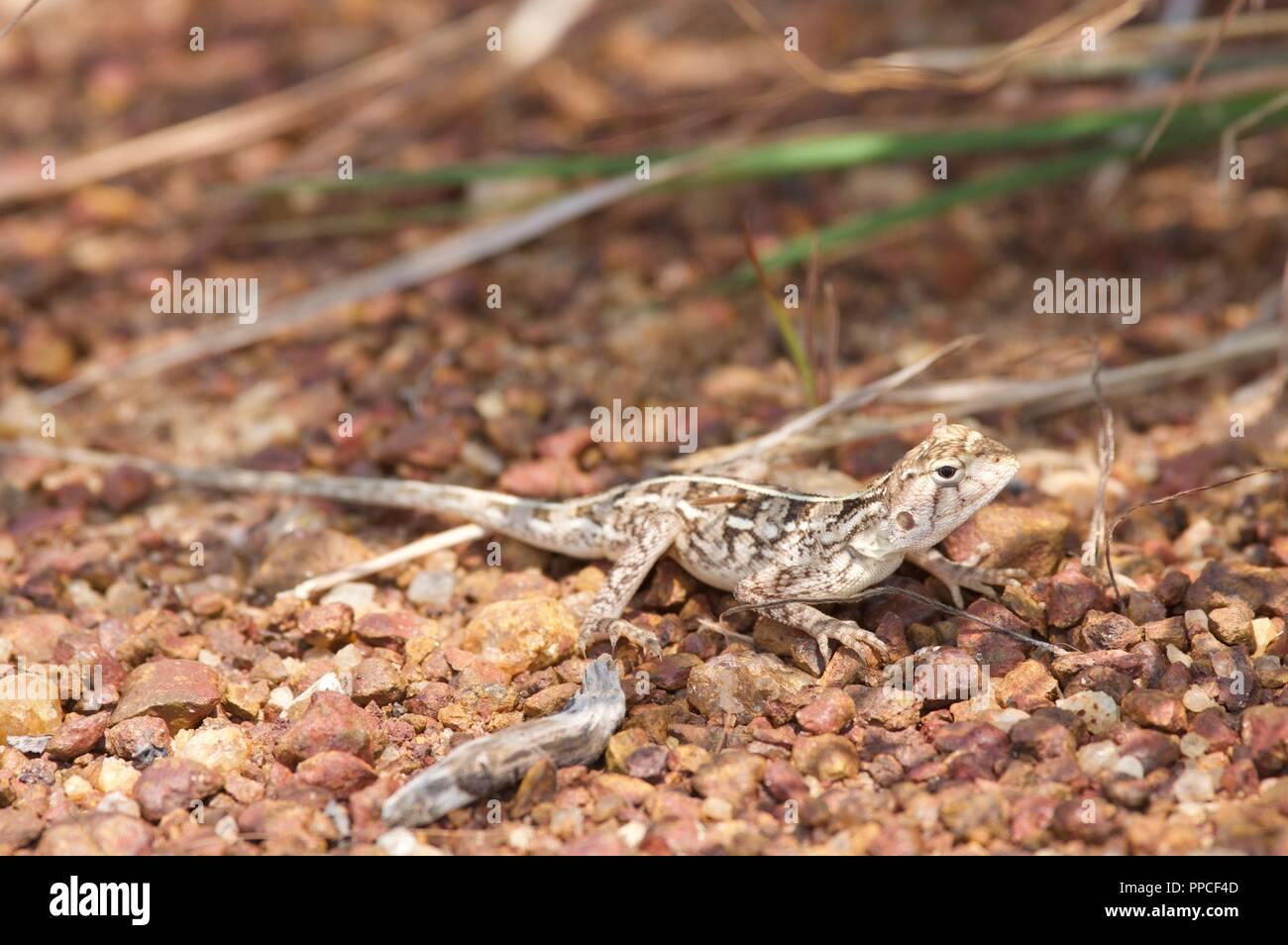 Méfiez-vous d'un  Agama agama(Sénégal) sankaranica hunkered down sur un sol graveleux en compensation une savane près d'Accra, au Ghana, en Afrique de l'Ouest Photo Stock