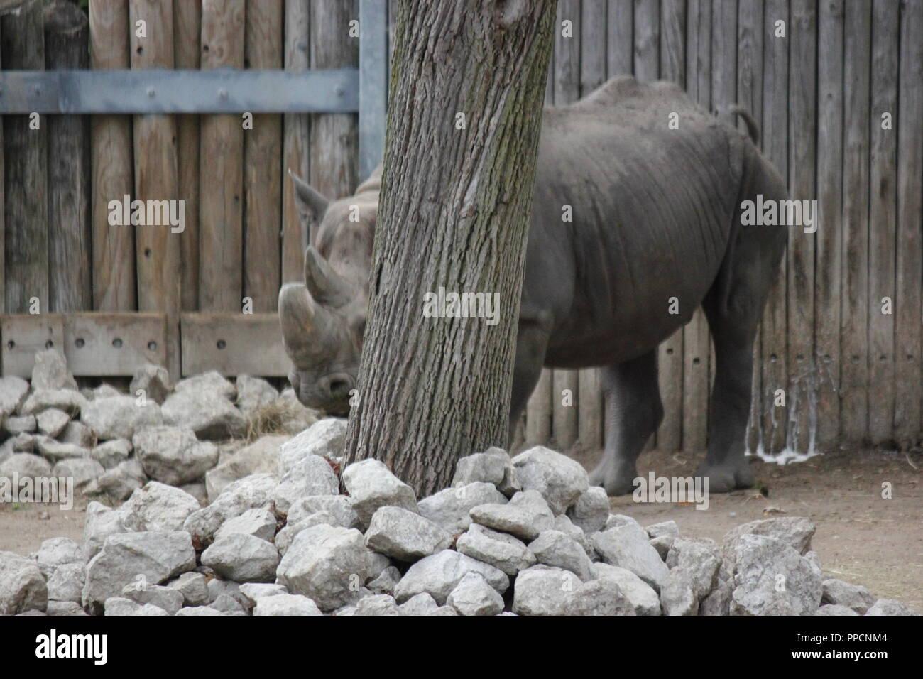 Rhinocéros noir en voie de disparition, Diceros bicornis, sa timidité et de se cacher derrière un arbre de Lincoln Park à Chicago sur une journée d'automne ensoleillée, D. bicornis. Banque D'Images