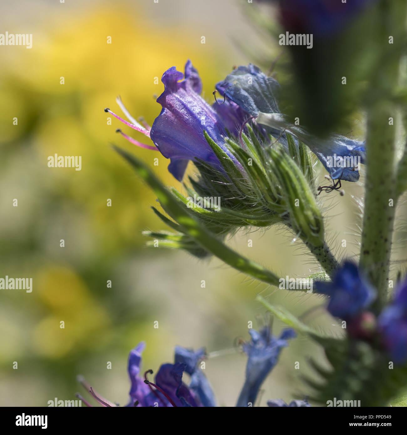 Fleur inconnue pré; pousse en Pologne le long d'une route forestière Photo Stock