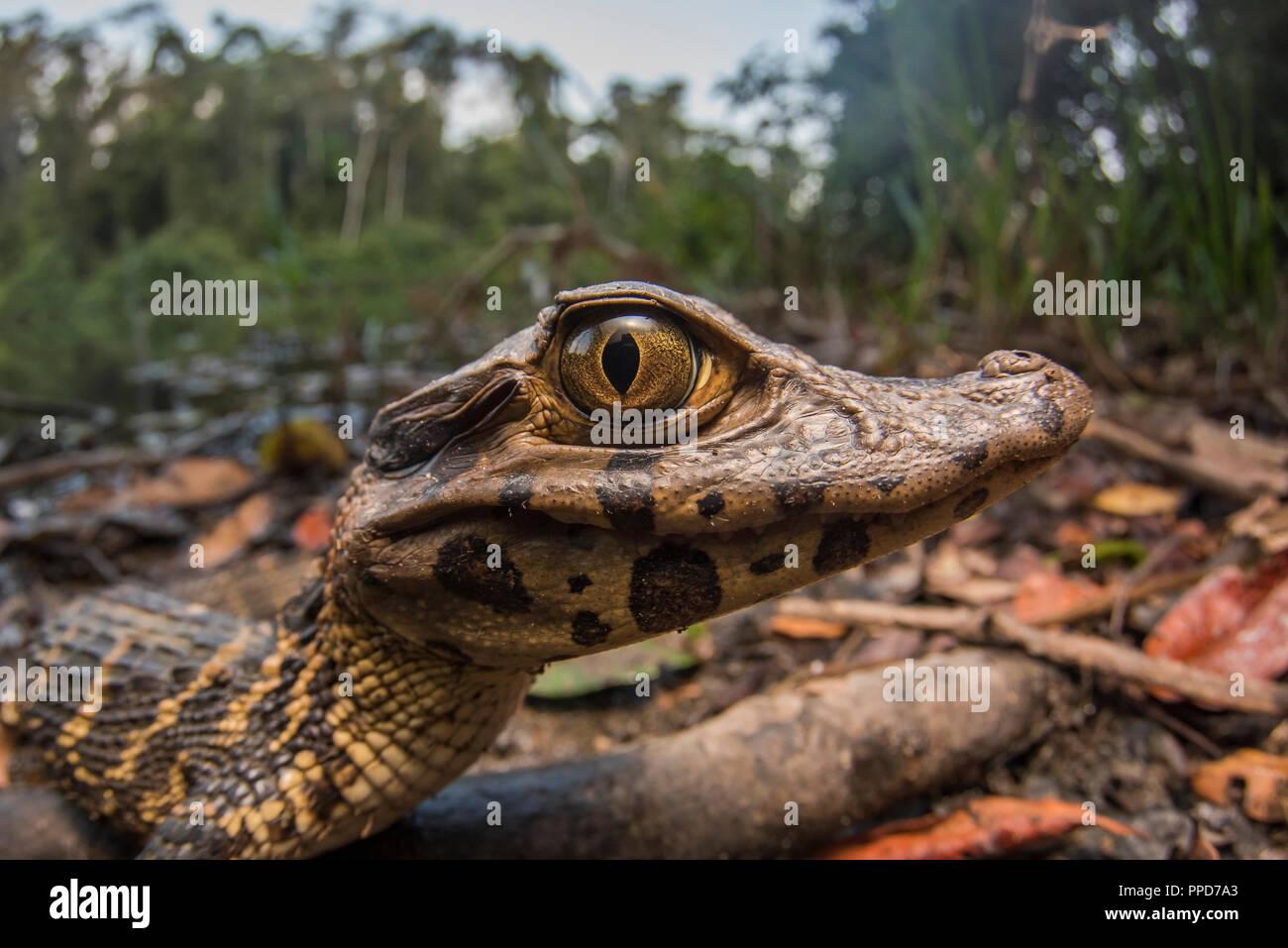 Un jeune caïman noir (Melanosuchus niger), lorsque celui-ci grandit, il sera un apex prédateur de l'Amazonie. Celui-ci est au soleil le long du lac. Photo Stock