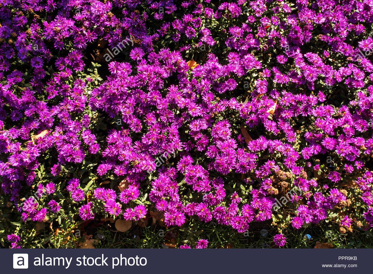 Aster rose fleurs d\'automne en automne, Aster dumosus, fleurs d ...