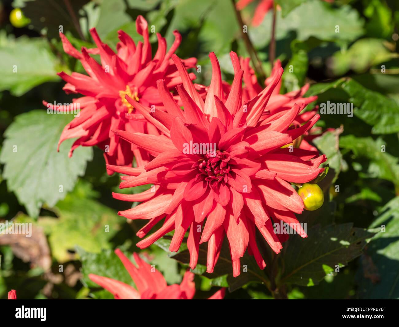 Fleur de cactus semi rouge vif de la floraison longue dans l'été, le dahlia 'Red Pigmy' Banque D'Images