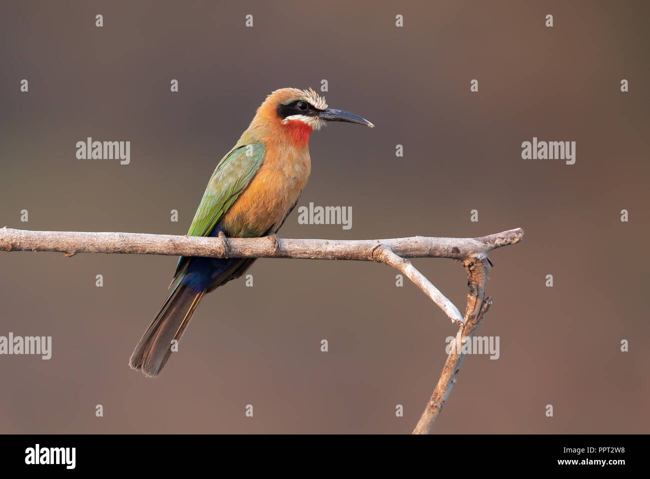 L'Oie rieuse Bee-eater Photo Stock