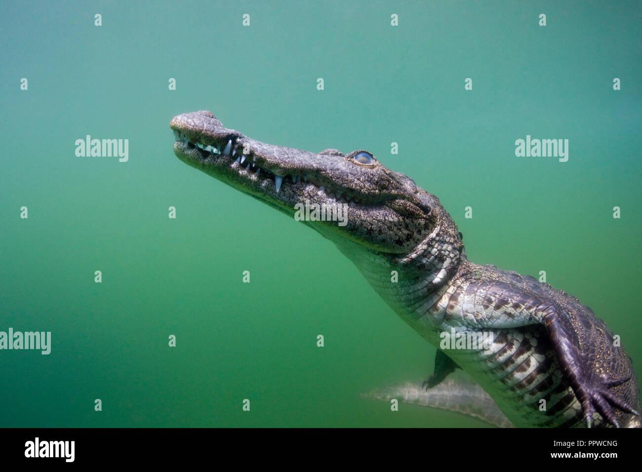 Les jeunes Crocodile, Crocodylus acutus, Floride, Everglades, USA Photo Stock
