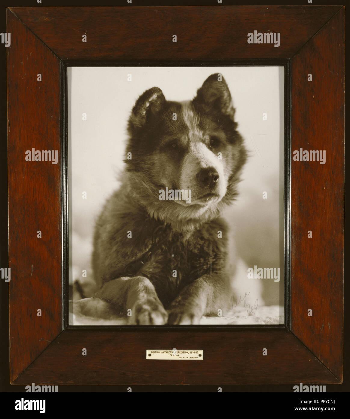 Vida , l'un des meilleurs des chiens utilisés par le Capitaine Smith sur son expédition au Pôle Sud, 1910 - 1913, Herbert G. Ponting, British Banque D'Images
