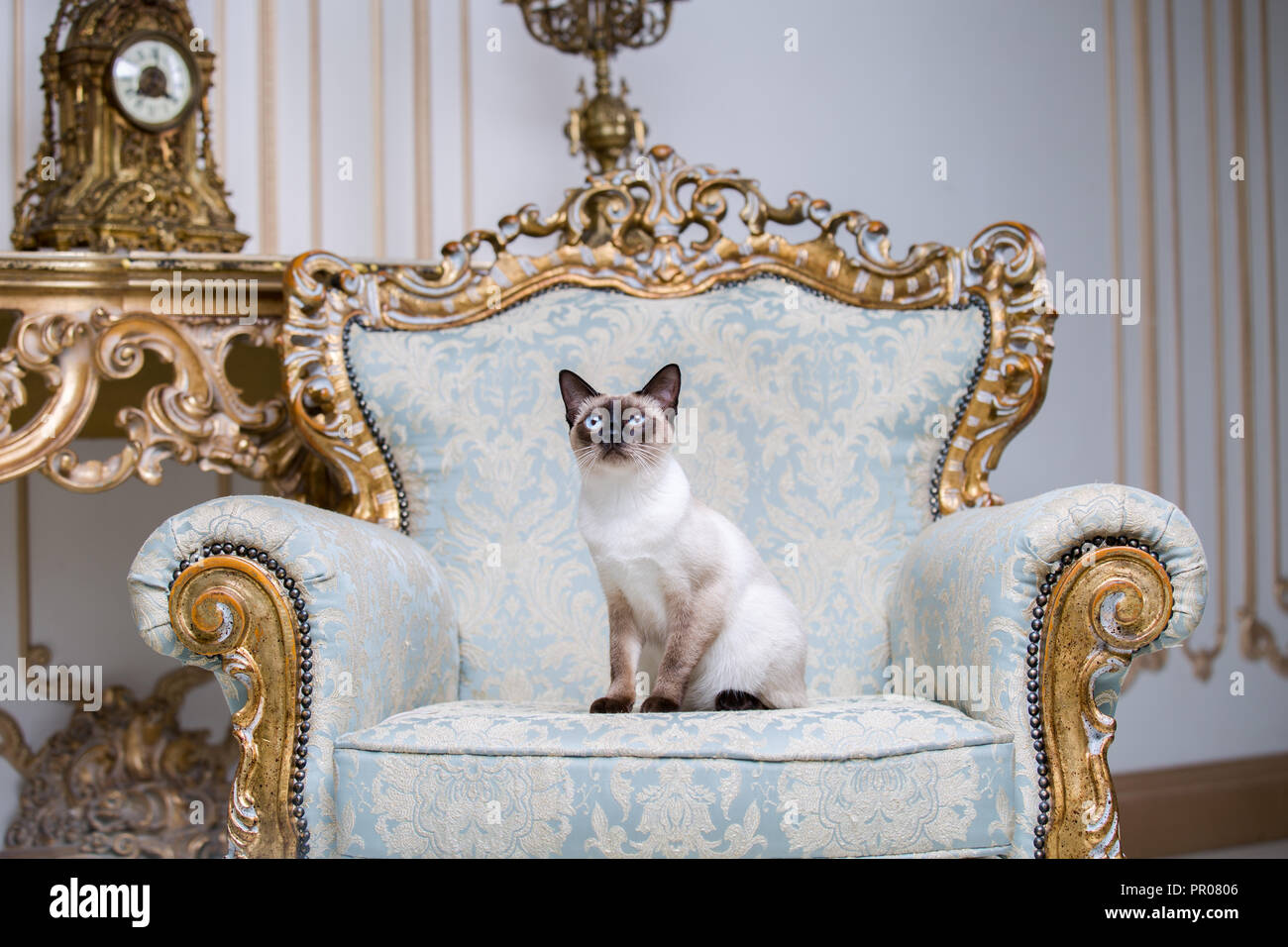 https://c8.alamy.com/compfr/pr0806/belle-race-de-chat-mekongsky-animal-femelle-bobtail-chat-sans-queue-est-membre-de-linterieur-de-larchitecture-europeenne-on-retro-vintage-chic-fauteuil-royal-pr0806.jpg