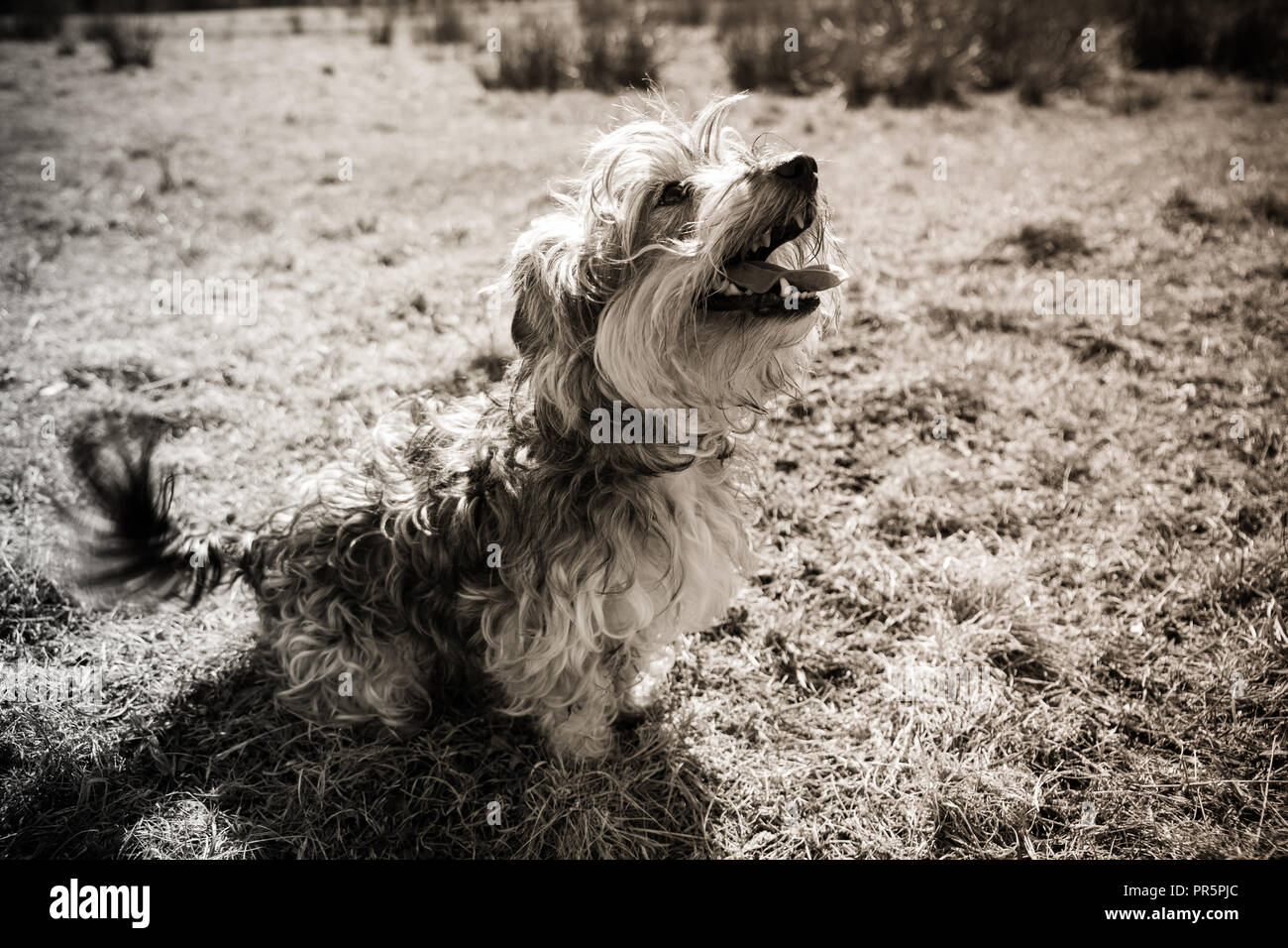 Photo de reno un Yorkshire terreur/ Jack Russell onn une promenade Photo Stock