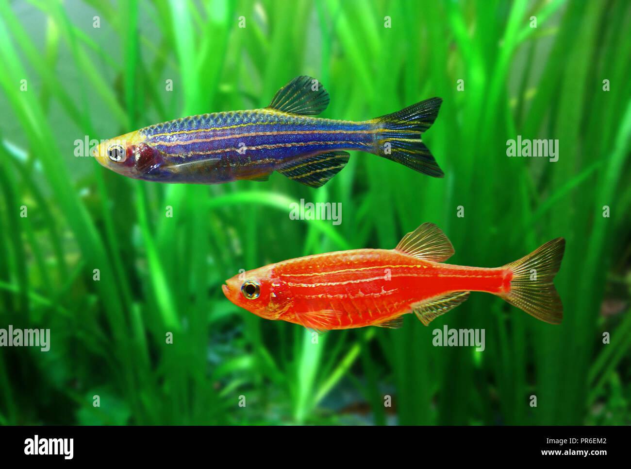 GloFish poisson zèbre, Danio rerio, versions rouge et bleu. Bien que non initialement développé pour le commerce des poissons ornementaux, c'est l'un des premiers Photo Stock