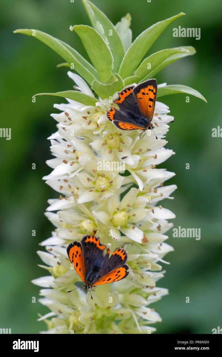 Les petits papillons de cuivre se nourrissent d'une fleur de lys d'Ananas. Photo Stock