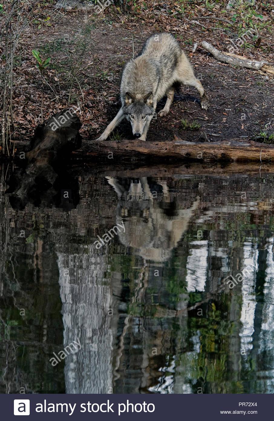 Timber Wolf (aussi connu comme un loup ou Loup gris) reflète dans Étang Photo Stock