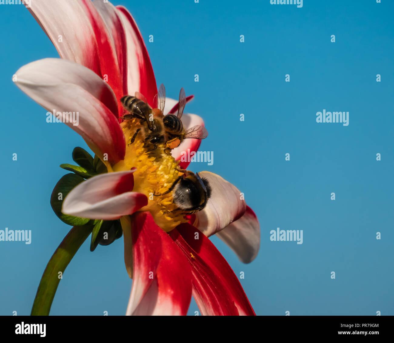 Bumble Bee pollen d\'obtenir l\'exubérante variété de fleurs de jardin ...