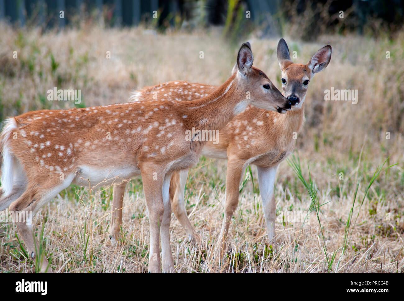 Jeune cerf dans le désert de l'ouest du Montana, USA Photo Stock