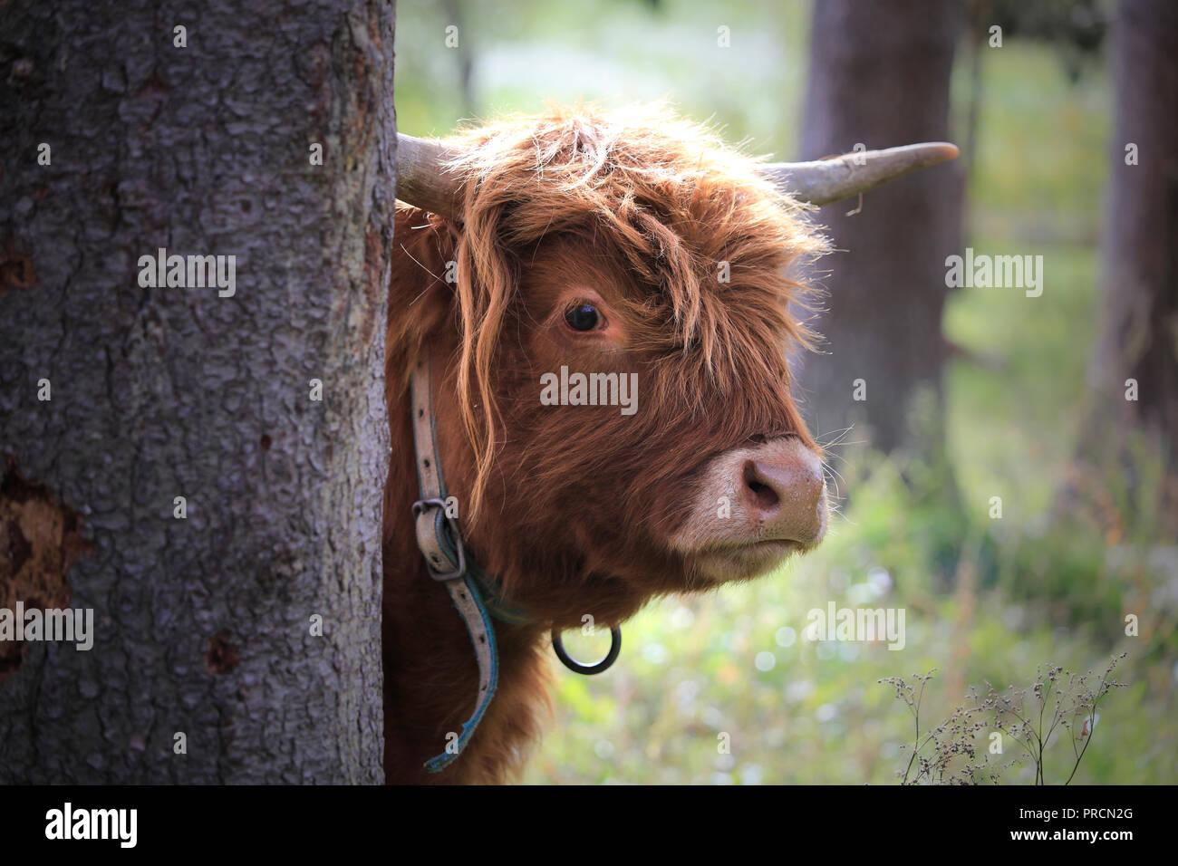 Jeune, timide et curieux Highland taureau se profile derrière un arbre. Photo Stock