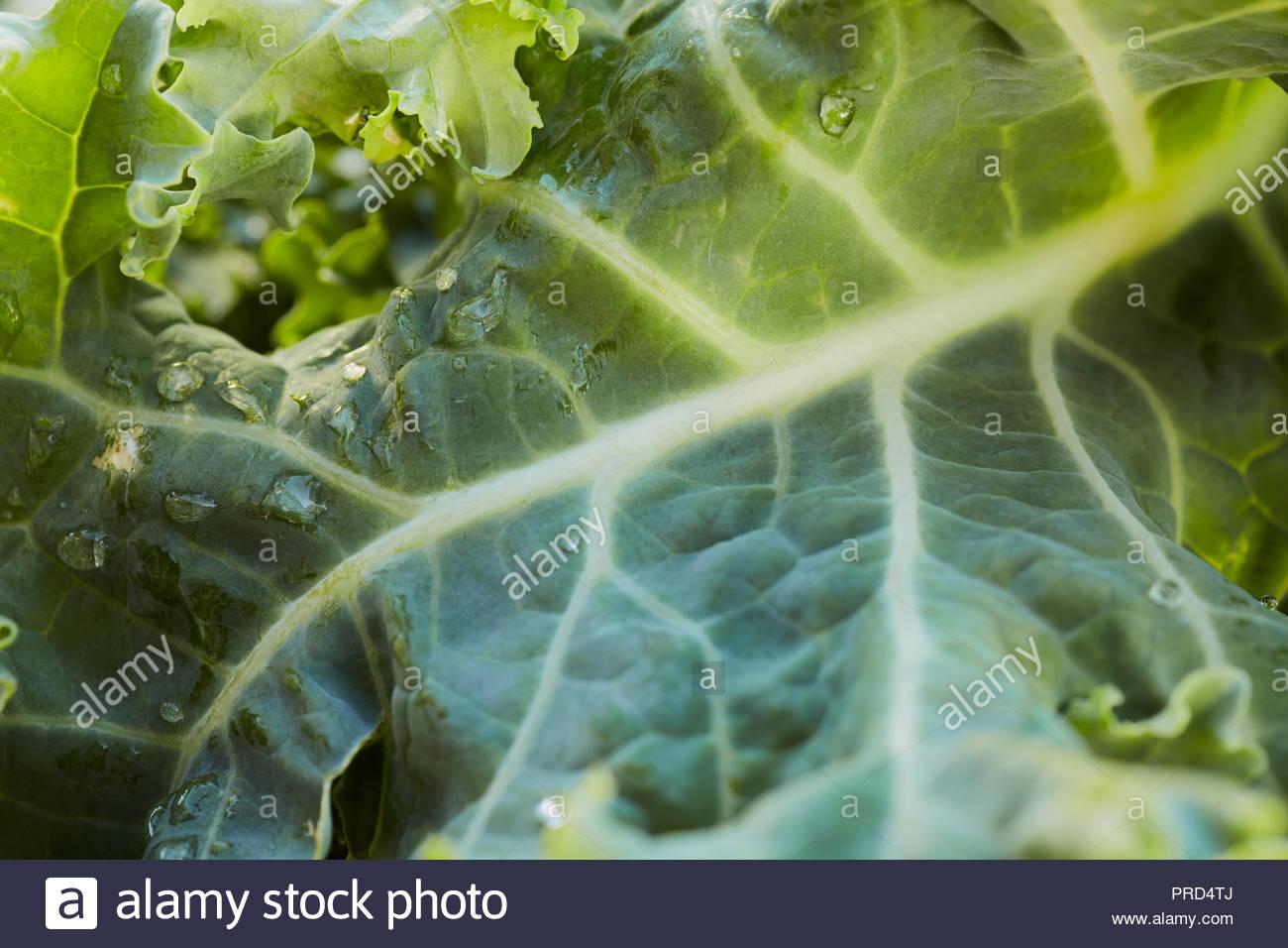 Soir lumière brillant à travers une feuille de chou vert avec de l'eau gouttes; macro. Photo Stock