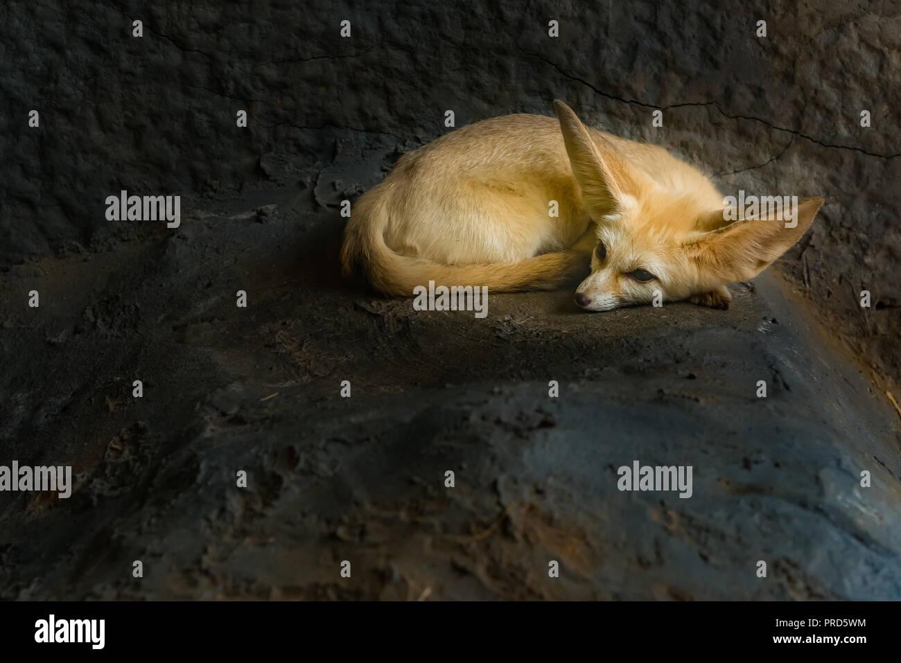Un Fennec fox se repose dans un terrier Photo Stock