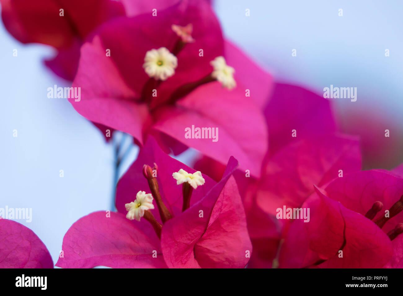 bractées foliacées ornementales voyantes teintée rose vif rose