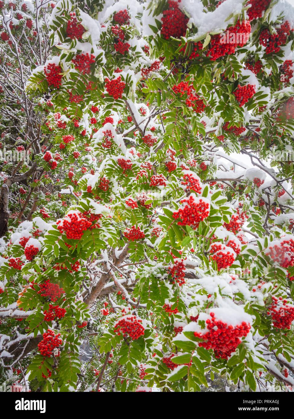 Le rowans ou mountain-cendres sont des arbustes ou des arbres dans le genre Sorbus, de la famille des roses, Rosaceae. Photo Stock