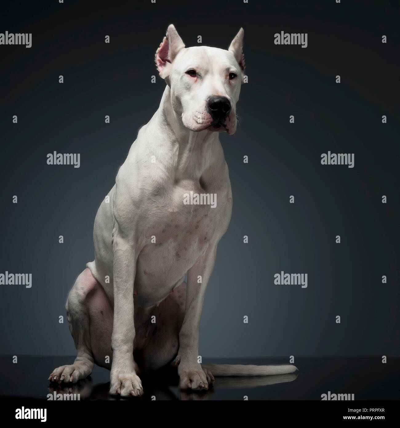Dog argentin assis sur la table studio Photo Stock