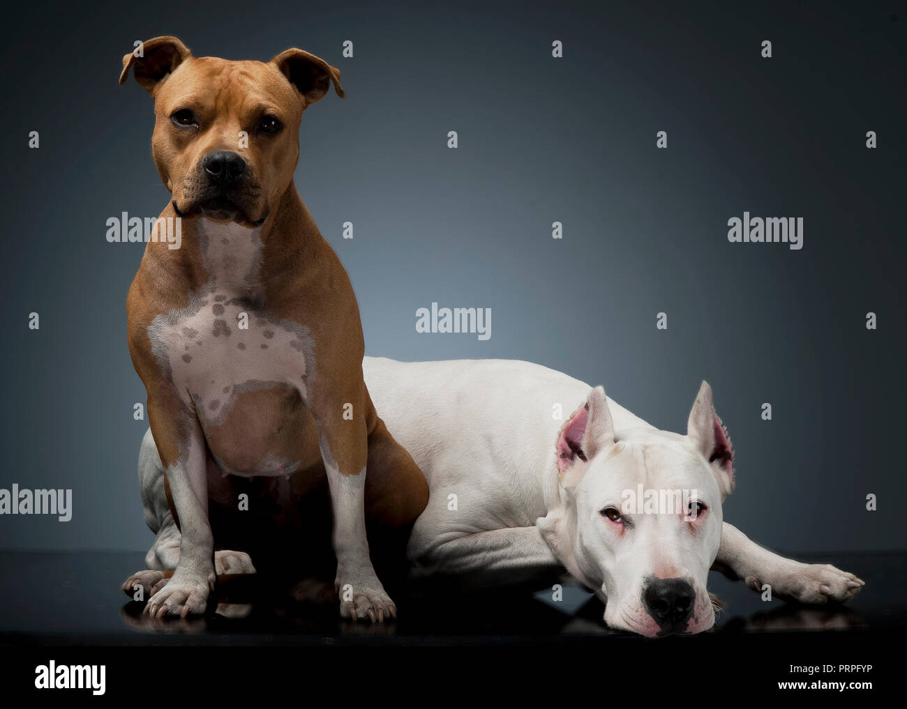 Dog argentin et Staffordshire Terrier sur le plancher Photo Stock